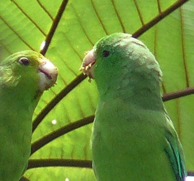 Green Rumped Parrotlet