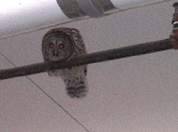 Owl in Garage